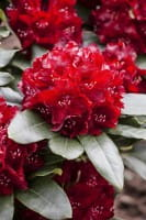Rhododendron Cherry Kiss • Rhododendron Hybride Cherry Kiss