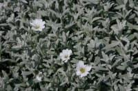 Kompaktes Garten-Hornkraut Silberteppich • Cerastium tomentosum Silberteppich