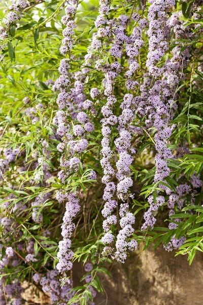Hänge-Sommerflieder • Buddleja alternifolia