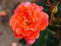 Rose Westerland ® • Rosa Westerland ®