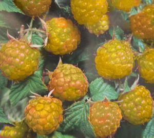 Himbeere Golden Queen • Rubus idaeus Golden Queen