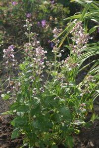 Großblütige Garten-Katzenminze Dawn to Dusk • Nepeta grandiflora Dawn to Dusk