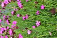 Karthäuser-Nelke • Dianthus carthusianorum