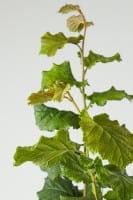 Haselnuss-Strauch Hallesche Riesennuss • Corylus avellana Hallesche Riesennuss