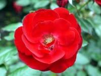 Beetrose Mariandel • Rosa Mariandel ®