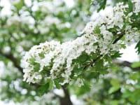 Eingriffeliger Weißdorn • Crataegus monogyna