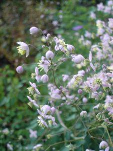 Wiesenraute • Thalictrum delavayi