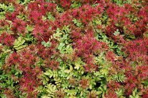 Magellan-Stachelnüsschen • Acaena magellanica