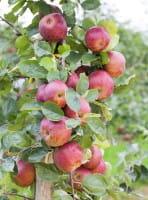 Apfel Boskoop • Malus Boskoop