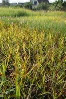 Garten-Ruten-Hirse Rotstrahlbusch • Panicum virgatum Rotstrahlbusch