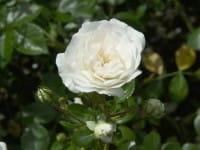 Rose Sea Foam • Rosa Sea Foam
