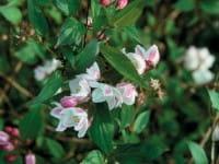Kalmiendeutzie • Deutzia kalmiiflora