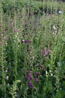 Königskerze • Verbascum phoeniceum