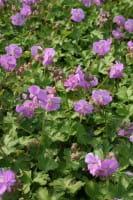 Cambridge-Garten-Storchschnabel Karmina • Geranium x cantabrigiense Karmina