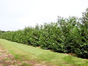 Kirschlorbeer Novita • Prunus laurocerasus Novita