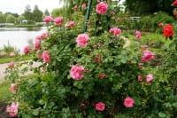 Rose Uetersens Rosenprinzessin ® • Rosa Uetersens Rosenprinzessin