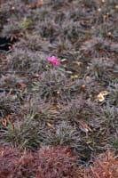 Garten Grasnelke • Armeria maritima Vesuv