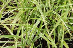 Garten-Chinaschilf Cosmopolitan • Miscanthus sinensis Cosmopolitan