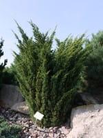 Gartenzypresse Wisselii • Chamaecyparis lawsoniana Wisselii
