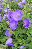 Niedrige Garten Glockenblume • Campanula carpatica Blaue Clips