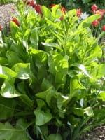 Meerrettich • Armoracia rusticana