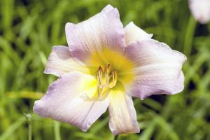 Garten-Taglilie Catherine Woodbery • Hemerocallis x cult. Catherine Woodbery