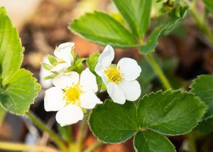 Erdbeere Honeoye • Fragaria Hybride Honeoye