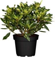 Rhododendron Goldflimmer • Rhododendron Hybride Goldflimmer