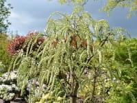 Edelblauregen Longissima Alba • Wisteria floribunda Longissima Alba