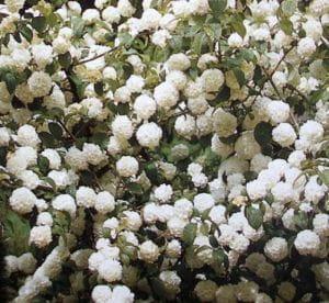 Wolliger Schneeball • Viburnum lantana