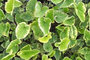 Garten Kaukasusvergissmeinnicht Hadspen Cream • Brunnera macrophylla Hadspen Cream