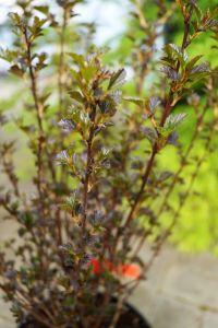 Blasenspiere Tiny Wine • Physocarpus opulifolius Tiny Wine