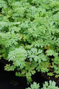 Echter Wermut - Artemisia absinthium
