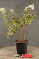 Bauernhortensie Bobo • Hydrangea paniculata Bobo