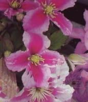 Waldrebe Piilu • Clematis Hybriden Piilu