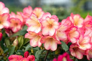 Rhododendron Barbarella • Rhododendron yakushimanum Barbarella
