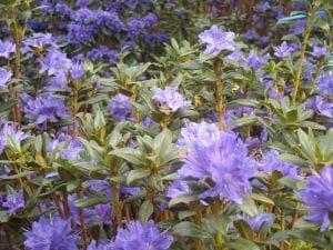 Rhododendron russatum Azurwolke • Rhododendron russatum Azurwolke