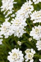 Garten-Schleifenblume Snowflake • Iberis sempervirens Snowflake
