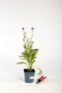 Blaublühende Jakobsleiter, Himmelsleiter • Polemonium caeruleum