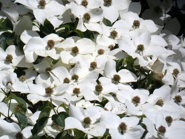 Japanischer Blumen-Hartriegel Milky Way • Cornus kousa chinensis Milky Way