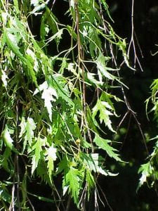 Schlitzblättrige Sandbirke • Betula pendula Laciniata