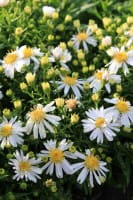Garten Kissen Aster • Aster dumosus Apollo
