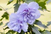 Rosen-Eibisch Blue Chiffon • Hibiscus Blue Chiffon