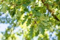 Traubeneiche • Quercus petraea
