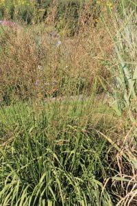 Garten-Pfeifengras Windspiel • Molinia arundinacea Windspiel