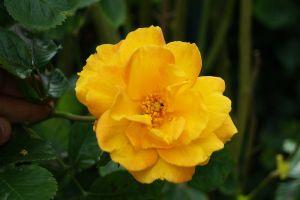 Rose Climbing Goldmarie • Rosa Climbing Goldmarie