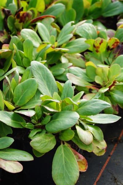 Garten Bergenie • Bergenia cordifolia Silberlicht