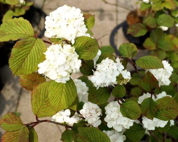 Gefüllter Japanischer Schneeball • Viburnum plicatum