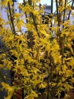 Goldglöckchen Lynwood Gold • Forsythia Lynwood Gold