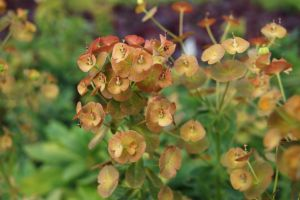 Balkan-Wolfsmilch • Euphorbia amygdaloides robbiae
